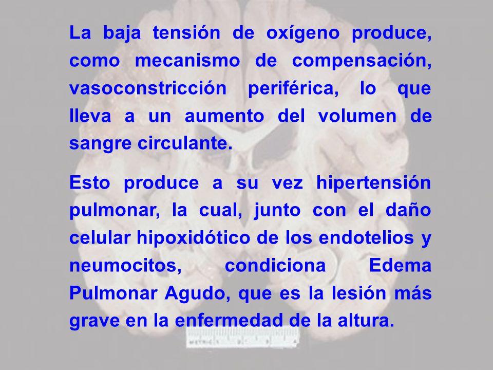 La baja tensión de oxígeno produce, como mecanismo de compensación, vasoconstricción periférica, lo que lleva a un aumento del volumen de sangre circu