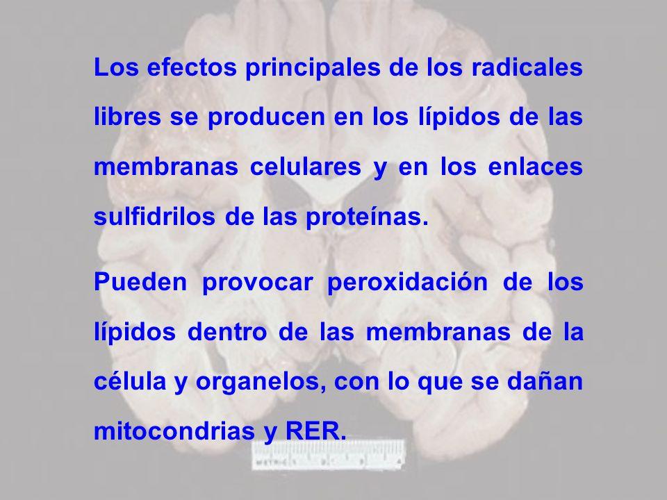 Los efectos principales de los radicales libres se producen en los lípidos de las membranas celulares y en los enlaces sulfidrilos de las proteínas. P