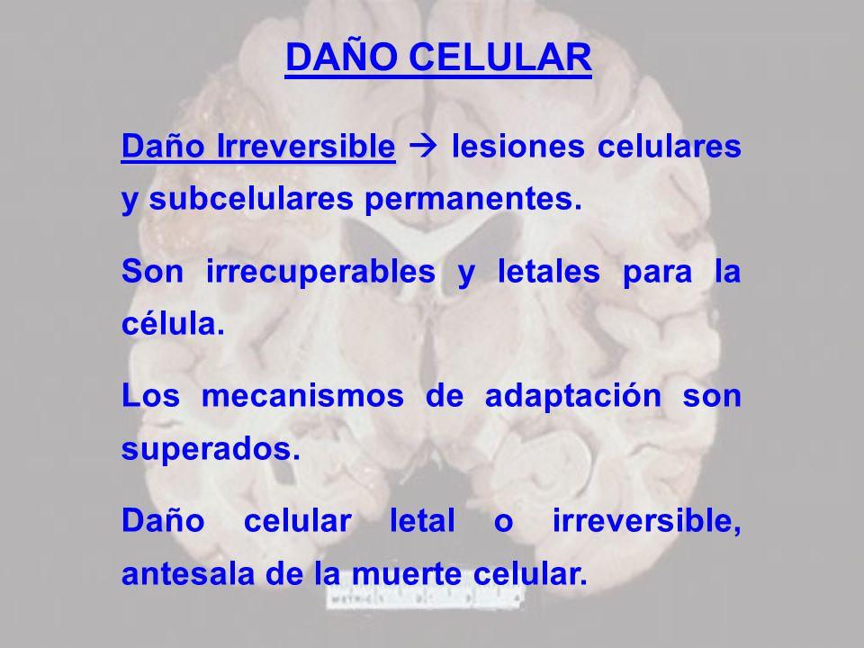 DAÑO CELULAR Daño Irreversible Daño Irreversible lesiones celulares y subcelulares permanentes. Son irrecuperables y letales para la célula. Los mecan