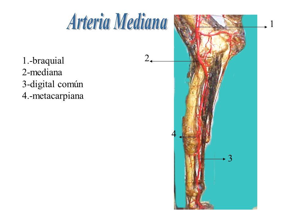 1.-braquial 2-mediana 3-digital común 4.-metacarpiana 1 2 4 3
