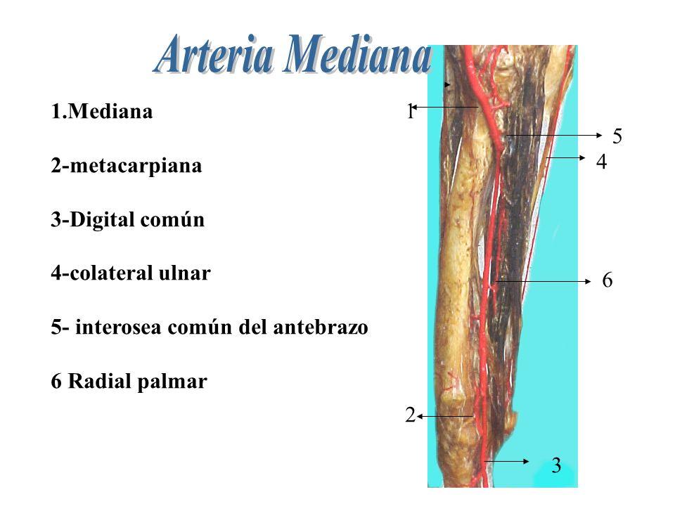1.Mediana 2-metacarpiana 3-Digital común 4-colateral ulnar 5- interosea común del antebrazo 6 Radial palmar 1 2 3 4 5 6