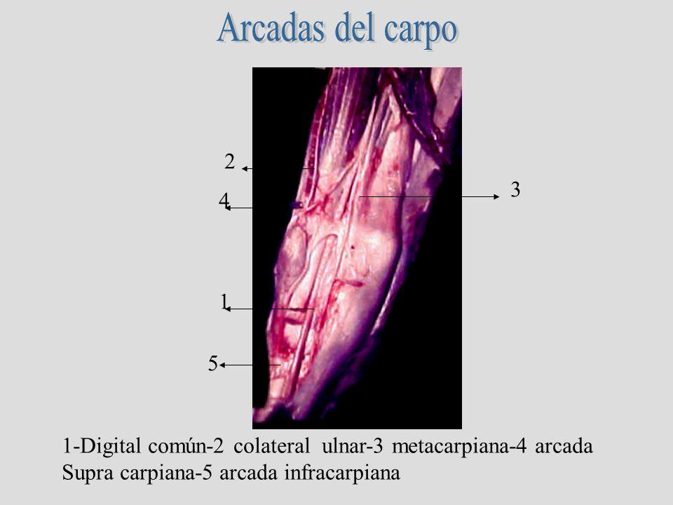 1-Digital común-2 colateral ulnar-3 metacarpiana-4 arcada Supra carpiana-5 arcada infracarpiana 1 3 2 4 5