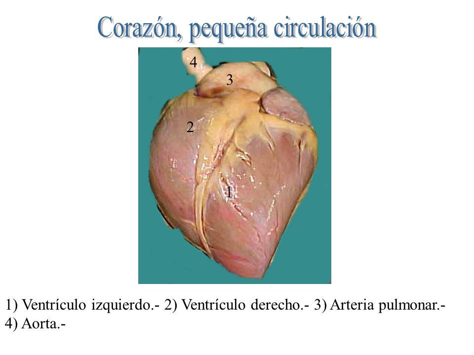 1 2 3 4 1) Ventrículo izquierdo.- 2) Ventrículo derecho.- 3) Arteria pulmonar.- 4) Aorta.-