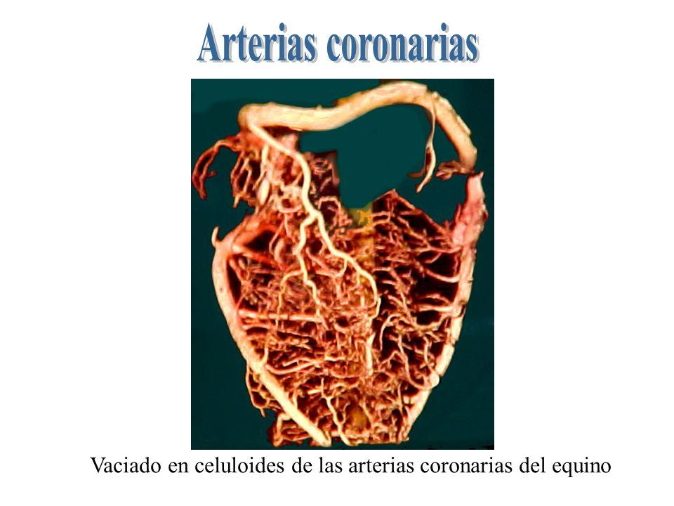 Vaciado en celuloides de las arterias coronarias del equino