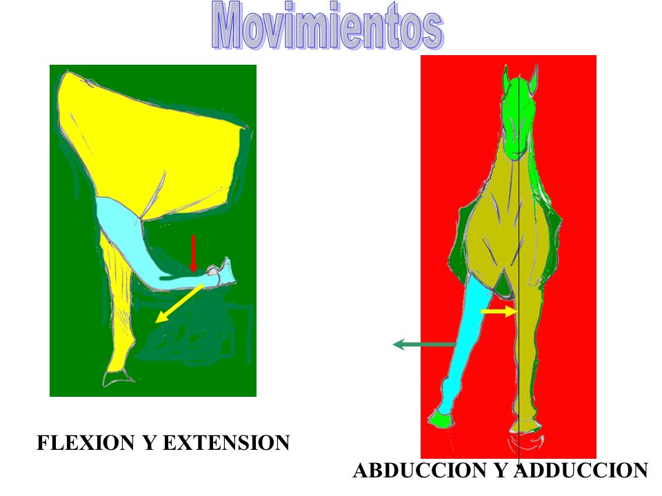 FLEXION Y EXTENSION ABDUCCION Y ADDUCCION