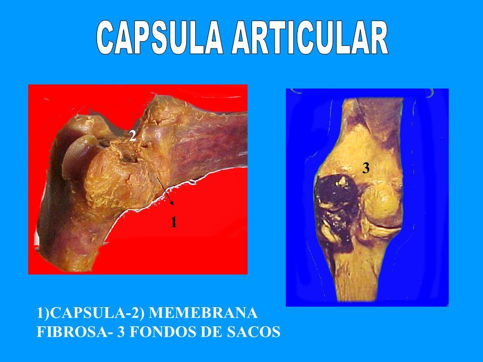 1 2 3 1)CAPSULA-2) MEMEBRANA FIBROSA- 3 FONDOS DE SACOS
