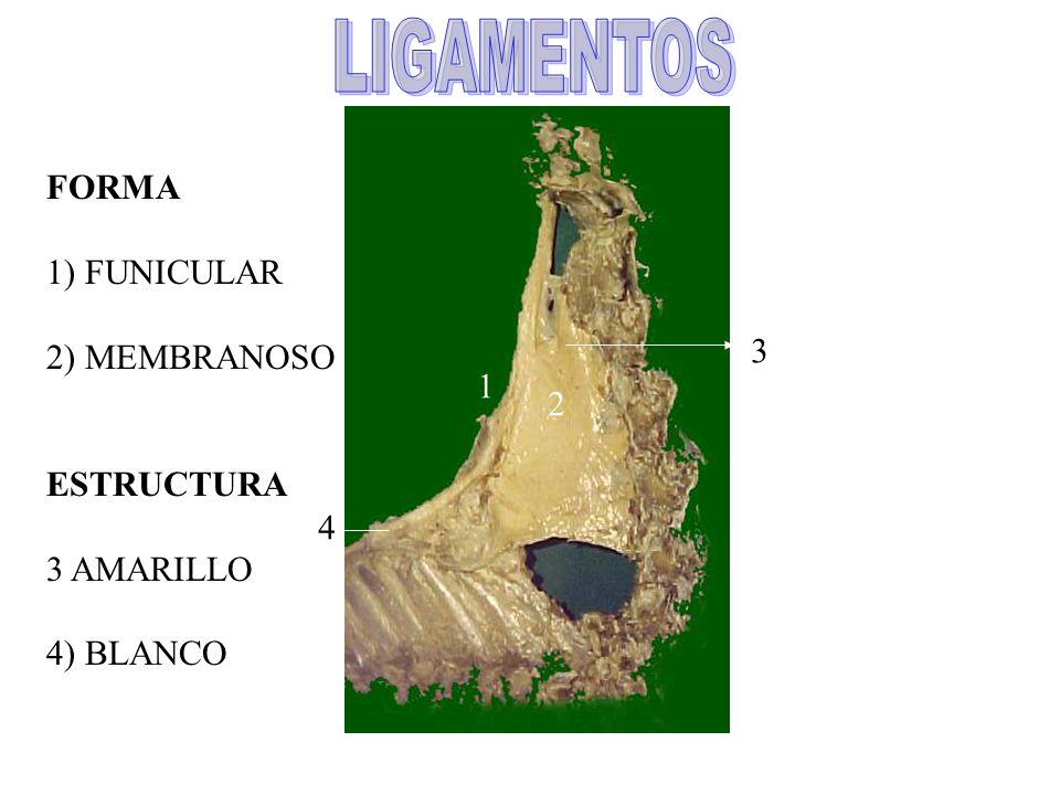 1 2 3 4 FORMA 1) FUNICULAR 2) MEMBRANOSO ESTRUCTURA 3 AMARILLO 4) BLANCO