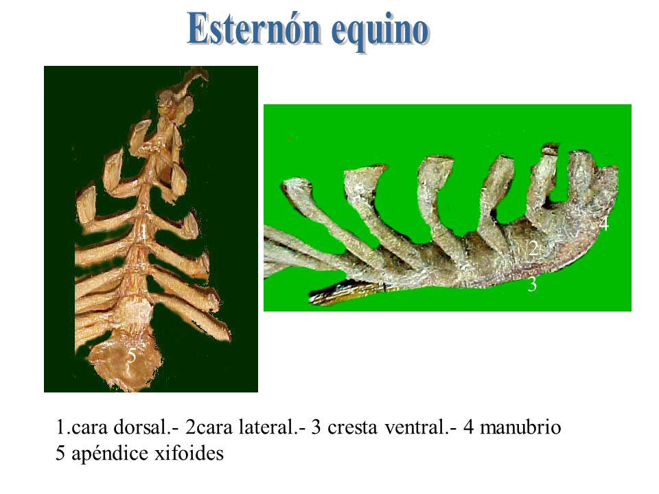 Especies Equino Rumiantes Cerdos Carnivoros 77687768