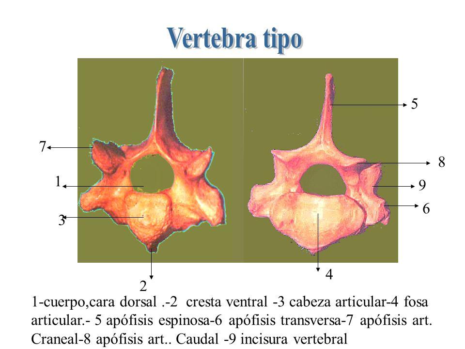 1 2 3 4 5 6 7 8 9 1-cuerpo,cara dorsal.-2 cresta ventral -3 cabeza articular-4 fosa articular.- 5 apófisis espinosa-6 apófisis transversa-7 apófisis art.