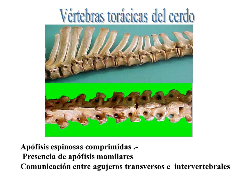 Apófisis espinosas comprimidas.- Presencia de apófisis mamilares Comunicación entre agujeros transversos e intervertebrales