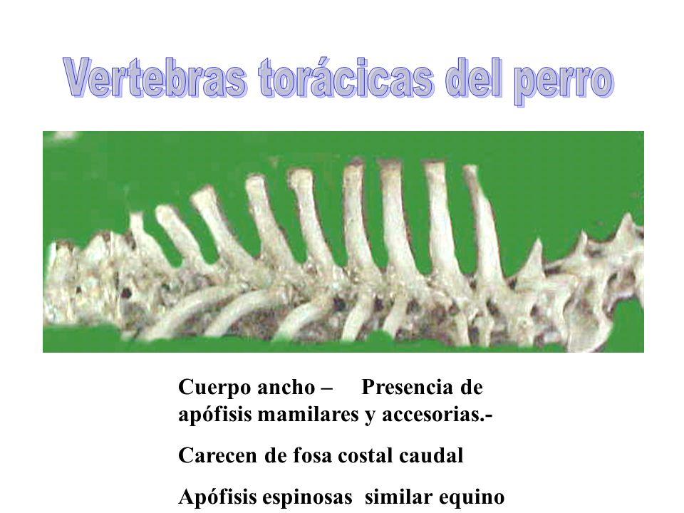 Cuerpo ancho – Presencia de apófisis mamilares y accesorias.- Carecen de fosa costal caudal Apófisis espinosas similar equino