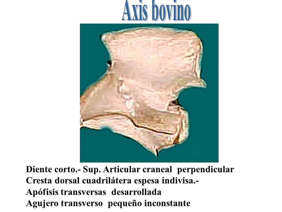 Diente corto.- Sup. Articular craneal perpendicular Cresta dorsal cuadrilátera espesa indivisa.- Apófisis transversas desarrollada Agujero transverso