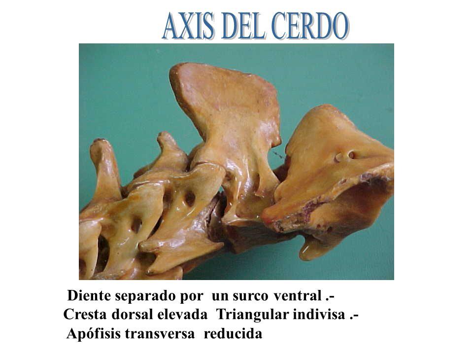 Diente separado por un surco ventral.- Cresta dorsal elevada Triangular indivisa.- Apófisis transversa reducida