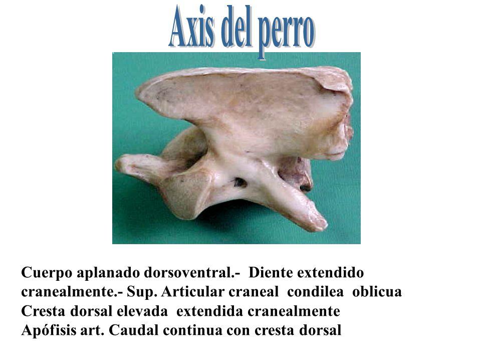 Cortas.- Cabeza prominente - Fosa profunda – Cresta ventral manifiesta – Presencia de apófisis espinosas Reducción de apófisis articulares.- Ap.