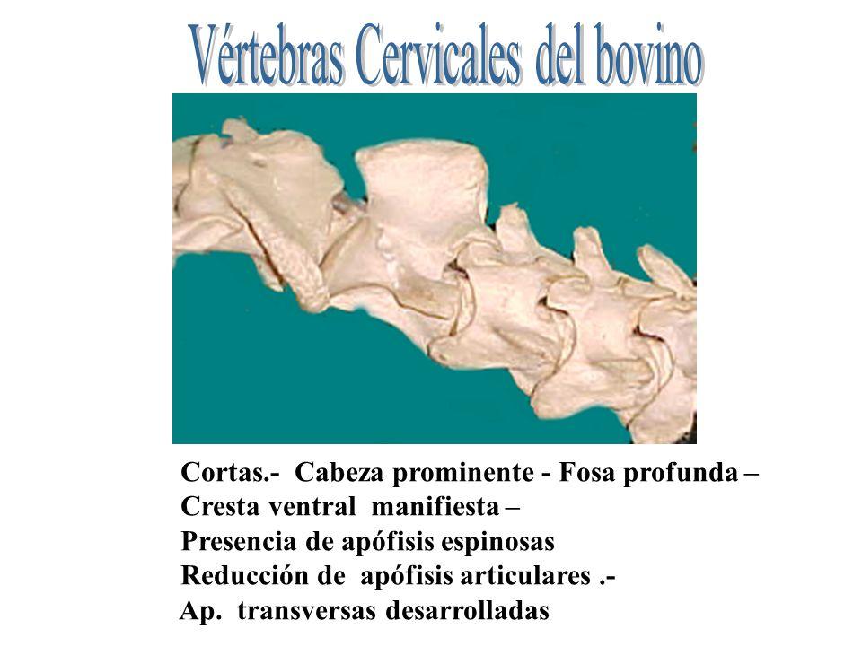 Cortas.- Cabeza prominente - Fosa profunda – Cresta ventral manifiesta – Presencia de apófisis espinosas Reducción de apófisis articulares.- Ap. trans