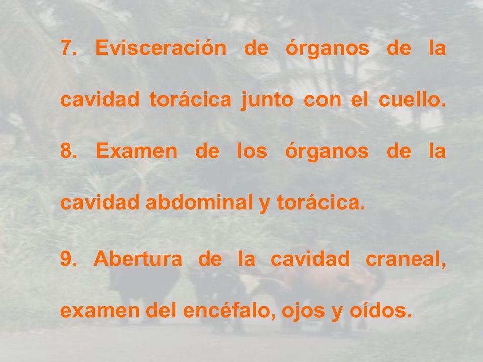 10.Abertura y examen del canal raquídeo.