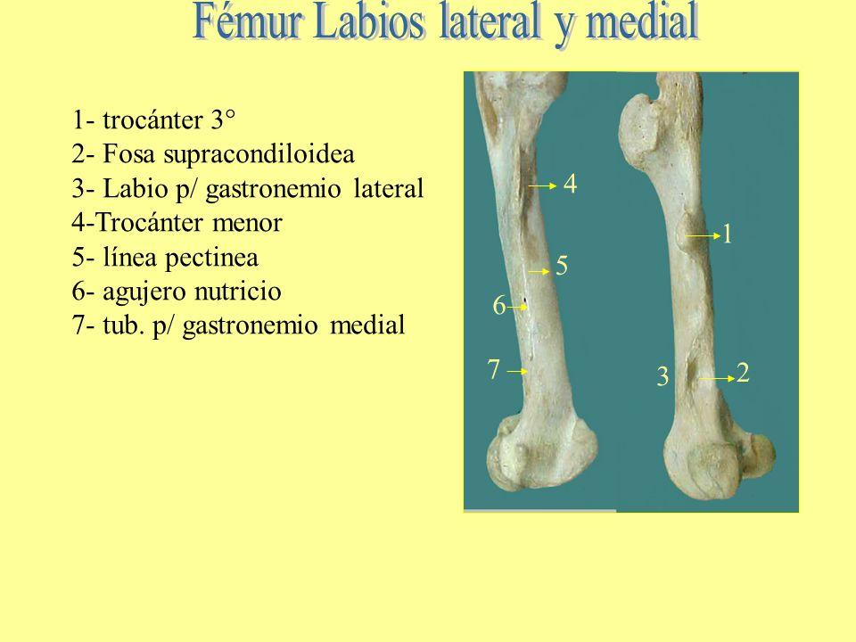 1 cara craneal.- 2 cara caudal 3 su.p/ bíceps femoral 4. Línea cuadrado femoral 5 cara áspera 6. Surco vasos femorales 7. Plano popliteo 1 2 3 4 5 6 7