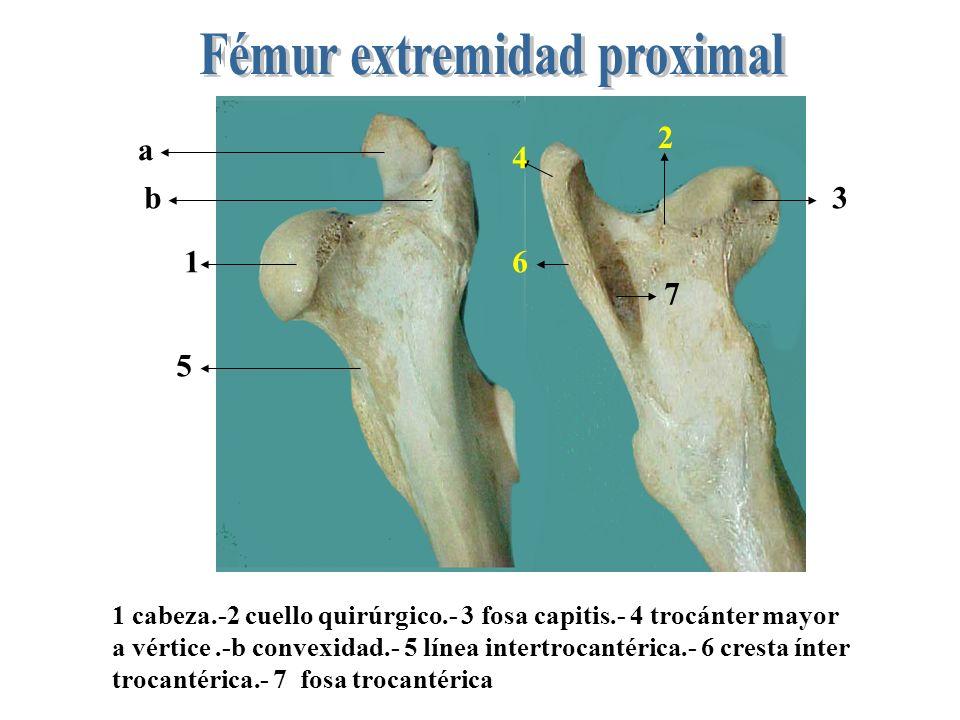 1- trocánter 3° 2- Fosa supracondiloidea 3- Labio p/ gastronemio lateral 4-Trocánter menor 5- línea pectinea 6- agujero nutricio 7- tub. p/ gastronemi
