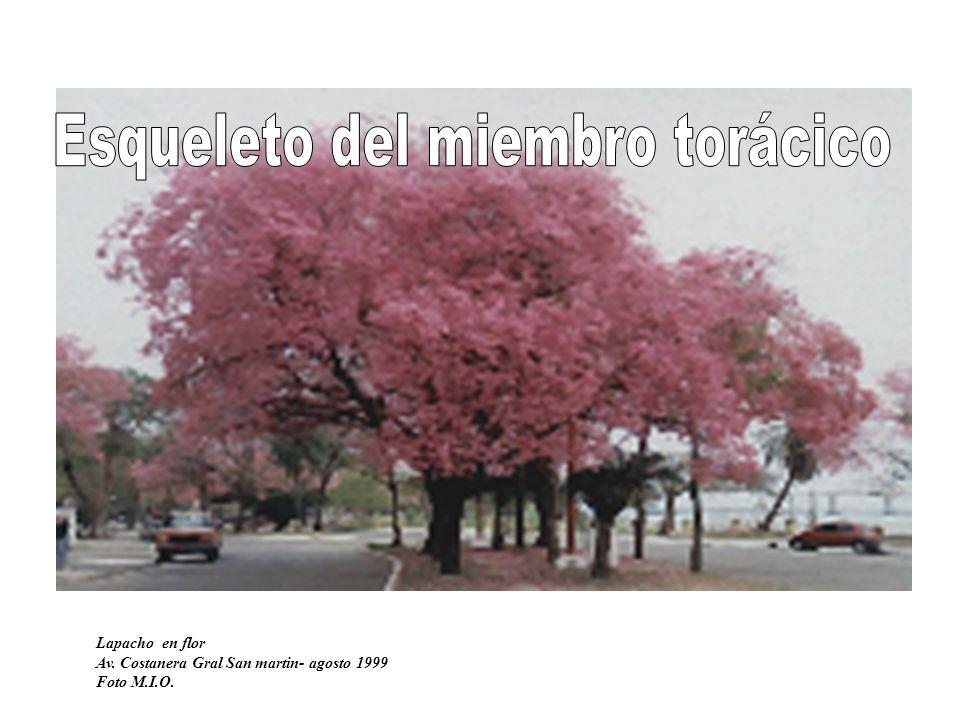 Lapacho en flor Av. Costanera Gral San martin- agosto 1999 Foto M.I.O.