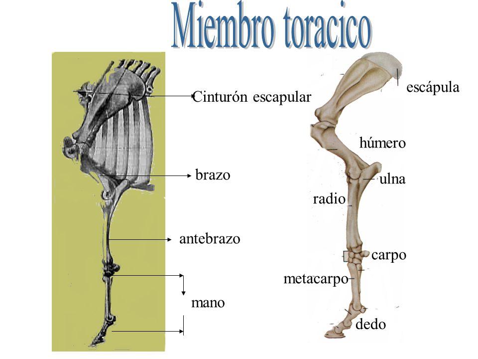 Cinturón escapular brazo antebrazo mano escápula húmero ulna radio carpo metacarpo dedo