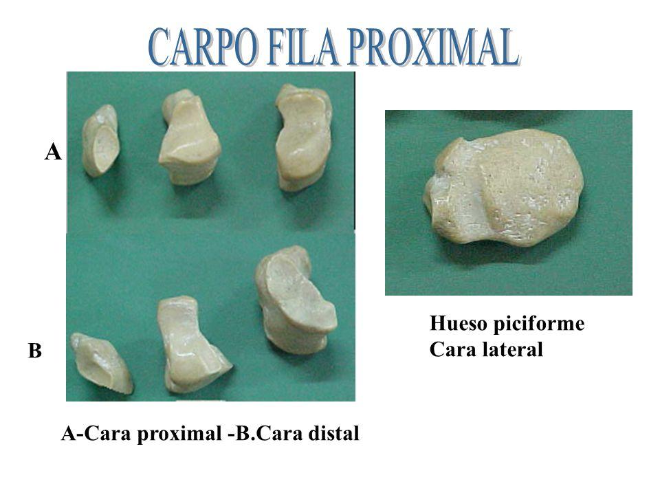 Fila proximal : lNavicular- lunatum - triquetum - pisiciforme Fila distal : multangulum 2°- capitatum - amatum N N L L T P M C A C A
