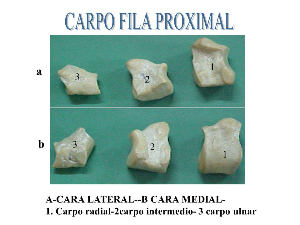 A B A-Cara proximal -B.Cara distal Hueso piciforme Cara lateral