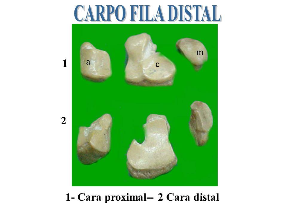a b A-CARA LATERAL--B CARA MEDIAL- 1. Carpo radial-2carpo intermedio- 3 carpo ulnar 1 2 3 1 2 3