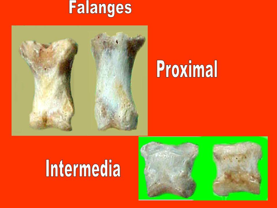 FP FI FD FP.: Falange próximal- FI: falange intermedia-FD: falange distal.- SP: sesamoides próximal.- SD: sesamoides distal SP SD