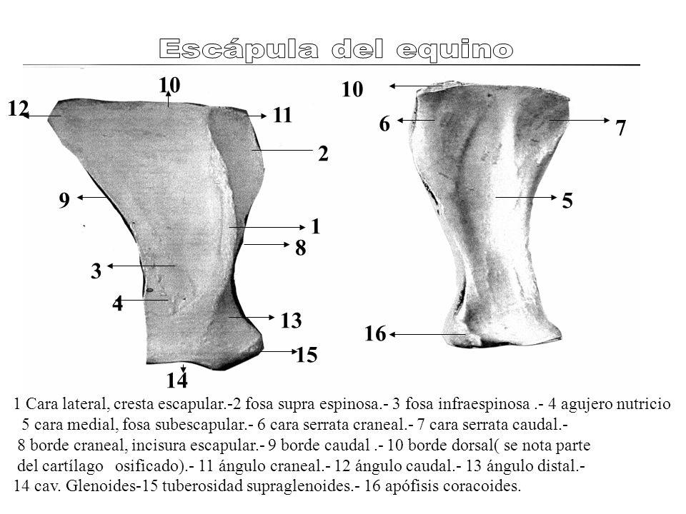 1 2 3 4 5 6 7 8 9 10 11 12 13 14 15 16 1 Cara lateral, cresta escapular.-2 fosa supra espinosa.- 3 fosa infraespinosa.- 4 agujero nutricio 5 cara medial, fosa subescapular.- 6 cara serrata craneal.- 7 cara serrata caudal.- 8 borde craneal, incisura escapular.- 9 borde caudal.- 10 borde dorsal( se nota parte del cartílago osificado).- 11 ángulo craneal.- 12 ángulo caudal.- 13 ángulo distal.- 14 cav.