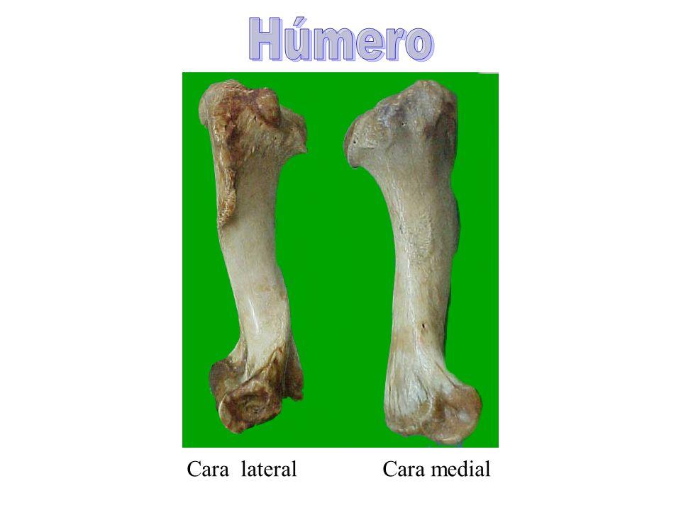 Cara lateral Cara medial