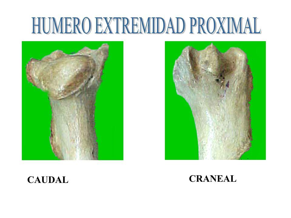 1incisura braquial-2 cresta tub. mayor-3 cresta condyloidea lateral- 4 linea anconea-5 tub. teres 6 agujero nutricio 1 2 3 4 5 6