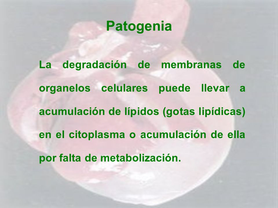 Patogenia La degradación de membranas de organelos celulares puede llevar a acumulación de lípidos (gotas lipídicas) en el citoplasma o acumulación de