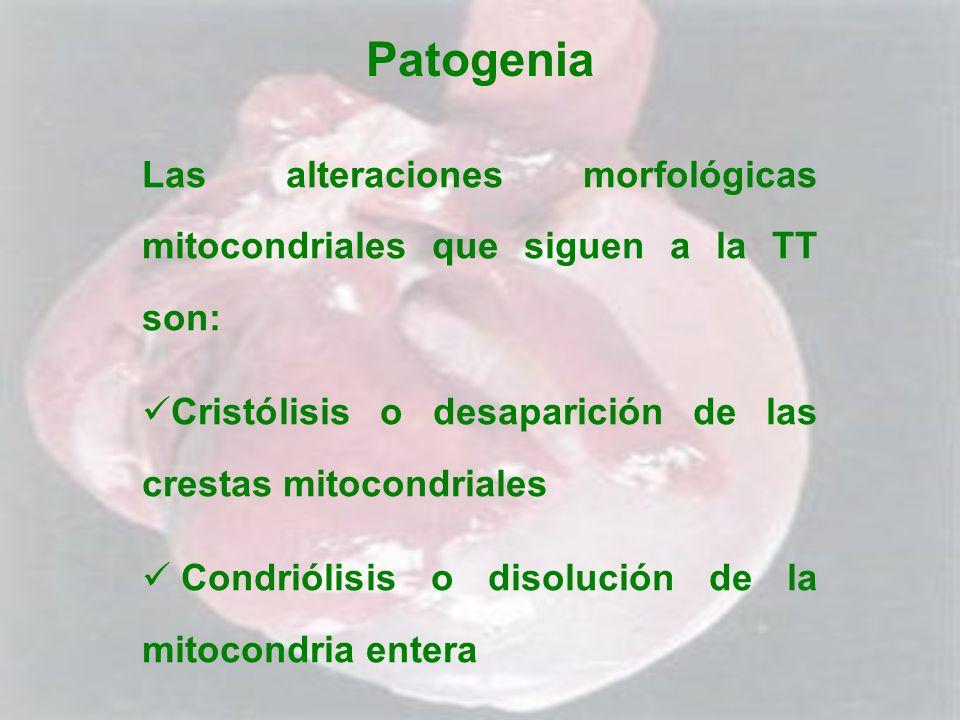 Patogenia Las alteraciones morfológicas mitocondriales que siguen a la TT son: Cristólisis o desaparición de las crestas mitocondriales Condriólisis o