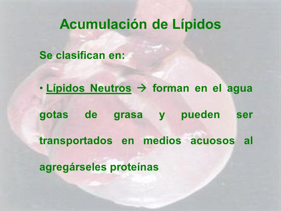 Acumulación de Lípidos Se clasifican en: Lípidos Neutros Lípidos Neutros forman en el agua gotas de grasa y pueden ser transportados en medios acuosos