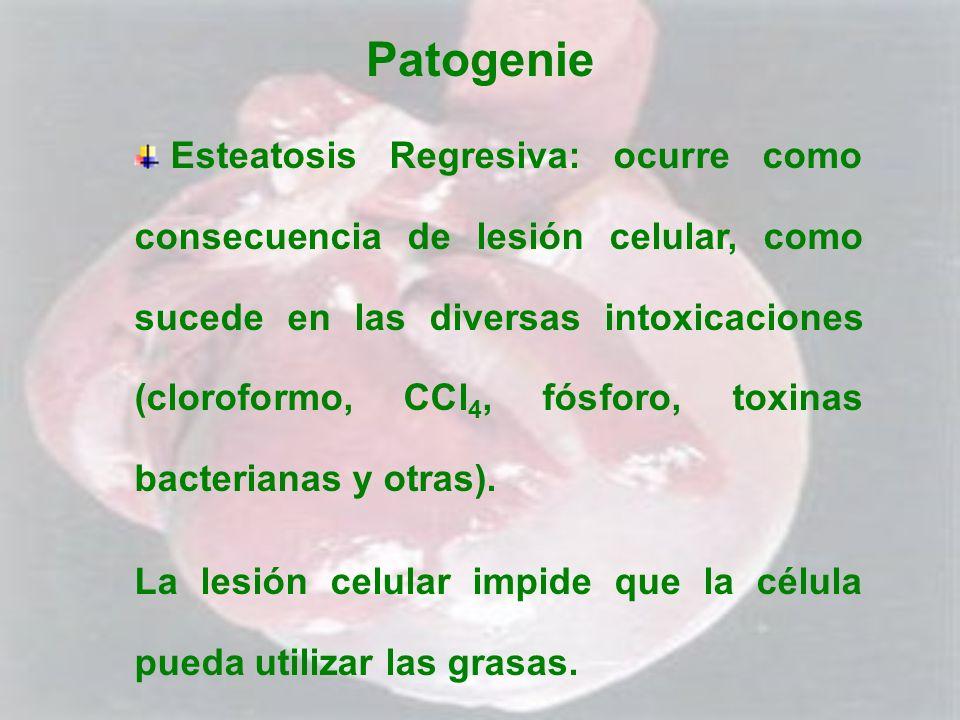 Patogenie Esteatosis Regresiva: ocurre como consecuencia de lesión celular, como sucede en las diversas intoxicaciones (cloroformo, CCl 4, fósforo, to