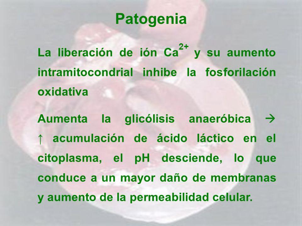 Patogenia La liberación de ión Ca 2+ y su aumento intramitocondrial inhibe la fosforilación oxidativa Aumenta la glicólisis anaeróbica acumulación de