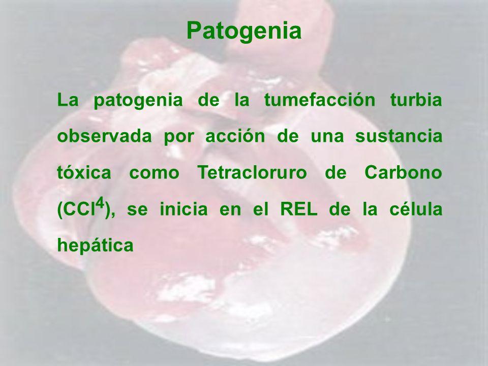 Patogenia La patogenia de la tumefacción turbia observada por acción de una sustancia tóxica como Tetracloruro de Carbono (CCl 4 ), se inicia en el RE