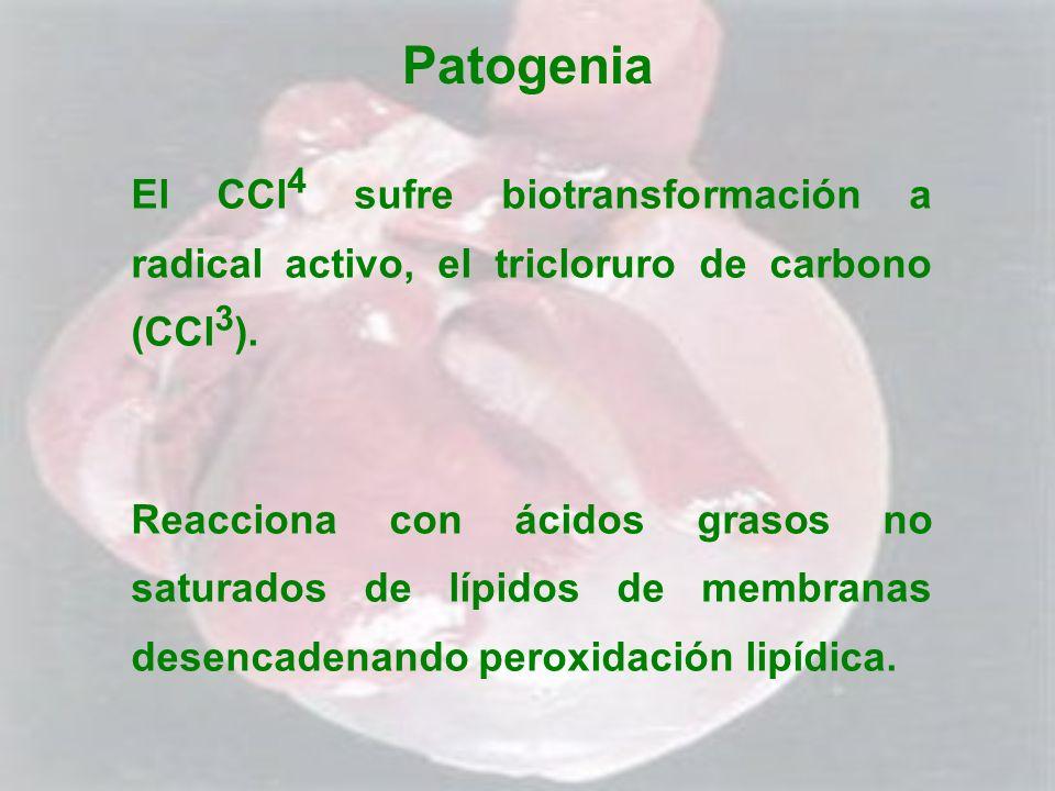 Patogenia El CCl 4 sufre biotransformación a radical activo, el tricloruro de carbono (CCl 3 ). Reacciona con ácidos grasos no saturados de lípidos de