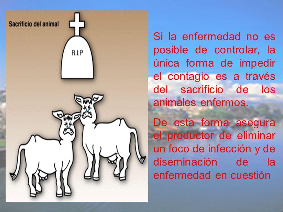 Si la enfermedad no es posible de controlar, la única forma de impedir el contagio es a través del sacrificio de los animales enfermos. De esta forma
