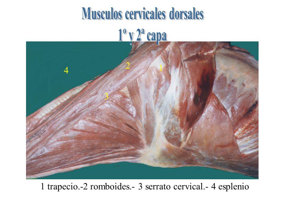 1 2 3 4 1 trapecio.-2 romboides.- 3 serrato cervical.- 4 esplenio