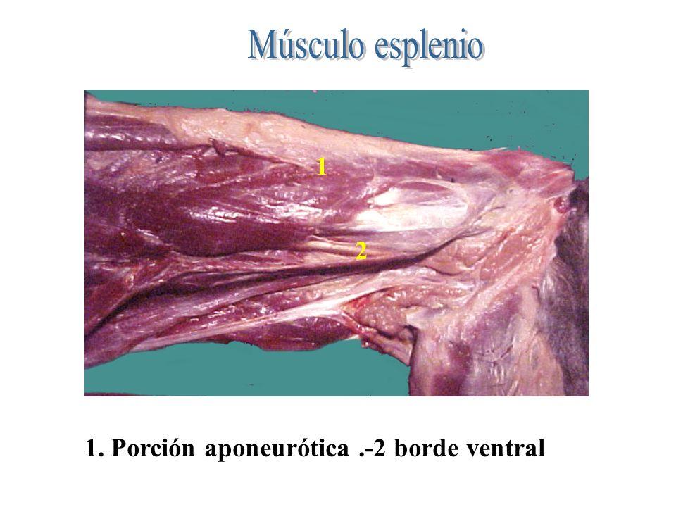 1 2 1. Porción aponeurótica.-2 borde ventral