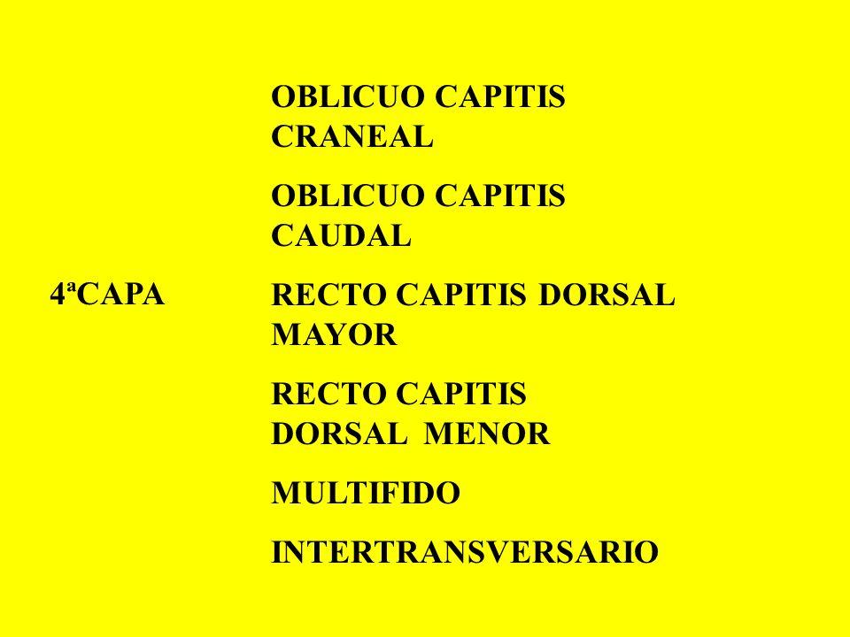 OBLICUO CAPITIS CRANEAL OBLICUO CAPITIS CAUDAL RECTO CAPITIS DORSAL MAYOR RECTO CAPITIS DORSAL MENOR MULTIFIDO INTERTRANSVERSARIO 4ªCAPA