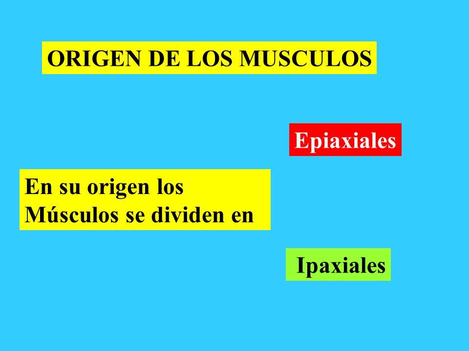 ORIGEN DE LOS MUSCULOS En su origen los Músculos se dividen en Epiaxiales Ipaxiales
