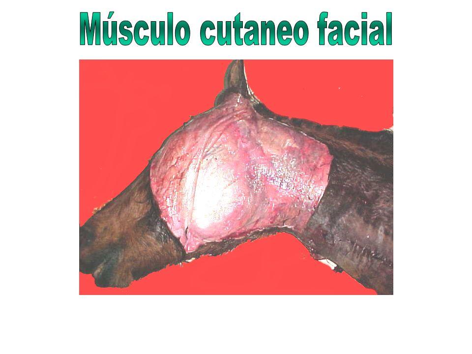 1 MUSCULO MULTIFIDO DORSAL Y LUMBAR (porción lumbar)