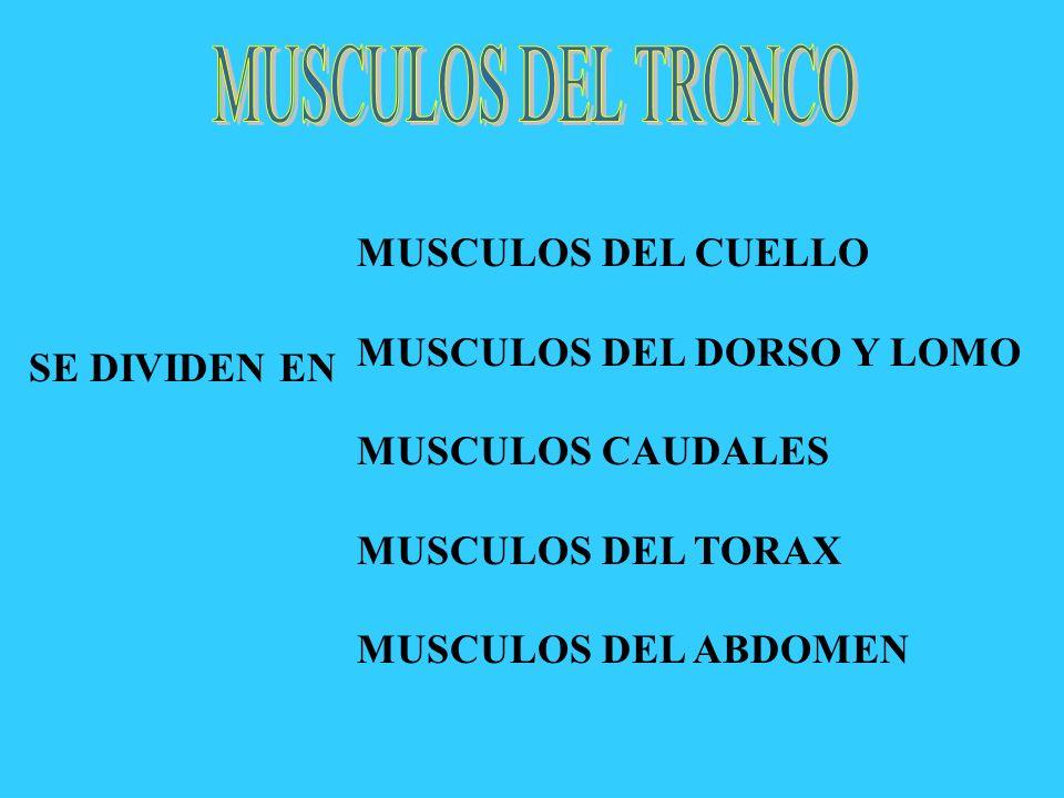 SE DIVIDEN EN MUSCULOS DEL CUELLO MUSCULOS DEL DORSO Y LOMO MUSCULOS CAUDALES MUSCULOS DEL TORAX MUSCULOS DEL ABDOMEN