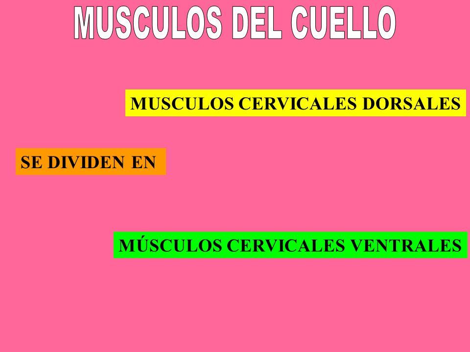 SE DIVIDEN EN MUSCULOS CERVICALES DORSALES MÚSCULOS CERVICALES VENTRALES