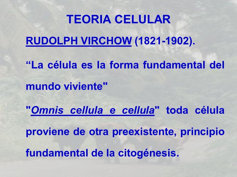 TEORIA CELULAR RUDOLPH VIRCHOW (1821-1902). La célula es la forma fundamental del mundo viviente