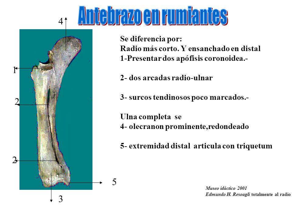 Se diferencia por: Radio más corto. Y ensanchado en distal 1-Presentar dos apófisis coronoidea.- 2- dos arcadas radio-ulnar 3- surcos tendinosos poco