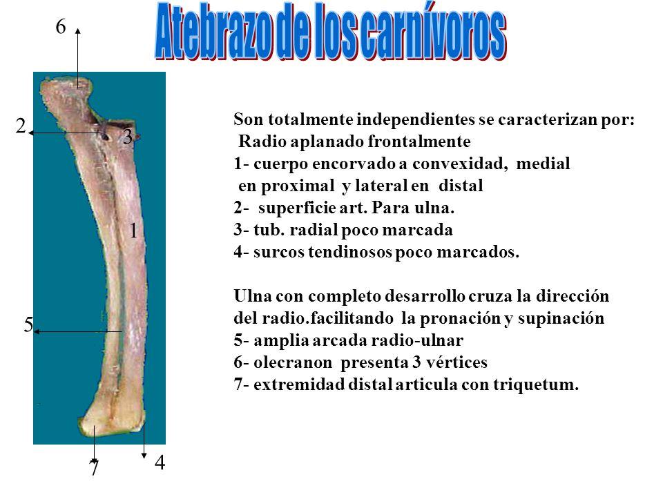 Son totalmente independientes se caracterizan por: Radio aplanado frontalmente 1- cuerpo encorvado a convexidad, medial en proximal y lateral en dista