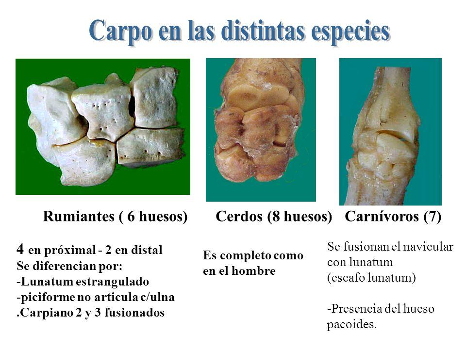 Rumiantes ( 6 huesos) Cerdos (8 huesos) Carnívoros (7) 4 en próximal - 2 en distal Se diferencian por: -Lunatum estrangulado -piciforme no articula c/